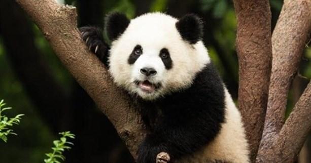"""Панда <br /> Раньше называли разноцветным медведем"""" width=""""950″> </p> <p> Как мы уже упоминали, красные панды были изначальными пандами. Если это так, то не следовало ли называть гигантских панд по-другому? Конечно! Гигантских панд называли разноцветными медведями. Опять же, название имеет непальское происхождение, хотя английский язык заимствовал его из французского. Впервые гигантская панда была описана в 1901 году, хотя житель Запада впервые увидел ее в 1869 году. </p> <p> Гигантская панда была известна уже к 20 веку, хотя до сих пор оставалась невидимой. В журнале <em> Popular Science </em> от сентября 1920 года была опубликована фотография гигантской панды, которую он назвал «медведь-енот». В нем говорилось, что гигантская панда была родственницей енота, несмотря на размер черного медведя. </p> <h2> <span> 3 </span> Жираф   Ранее назывался Camelopard – Giraffe Formerly Called Camelopard</h2> <p> <img src="""