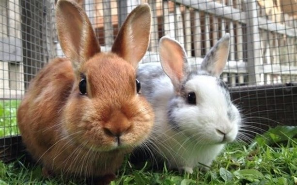 """Кролик <br /> Раньше его звали Кони"""" width=""""950″> </p> <p> Животные, которых сегодня называют кроликами, изначально назывались шишками. В то же время термин «кролик» конкретно относился к молодой колбочке, которую мы теперь называем кит или котенок. «Кони» произошло от <em> conis </em>, множественного числа англо-французского <em> conil </em>, что означает «ушастый кролик». </p> <p> «Кролик» настигло слово «кони» где-то в 19 веке, когда «кони» приобрело другие значения. В частности, «кони» стало вариантом написания <em> cunny </em>, что означало «c — nt». </p> <p> Кони не был полностью удален из английского языка, потому что он уже появился в Библия. Итак, произношение было изменено с рифмы со словами «мед» и «деньги» на рифму со словом «бони». </p> <p> Считается, что Кони-Айленд в Нью-Йорке был назван в честь кони (оригинальное название кроликов), потому что у него было большое поголовье кроликов. Голландцы первыми высадились на острове и назвали его «Кони Эйлант». </p> </p> <h2> <span> 5 </span> Красная панда   Ранее звали панда – Red Panda Formerly Called Panda</h2> <p> <img src="""