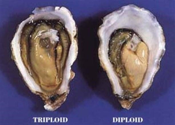 Триплоидные устрицы