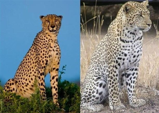"Гепард и леопард <br /> Гепардов раньше называли леопардами, а леопардов раньше называли пардами"" width=""950″><br />Источник фото: <a href="