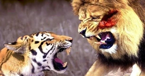 Тигр против Льва