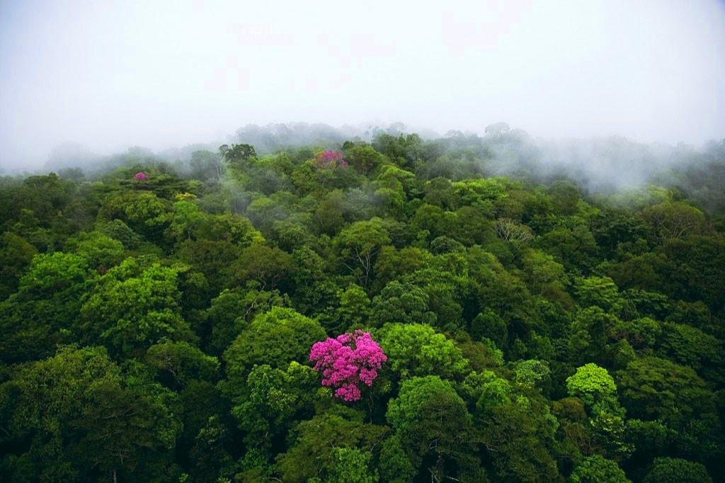 Фото 3. Розовое дерево на горе Кау, Французская Гвиана (4°30' N, 52°00' W)
