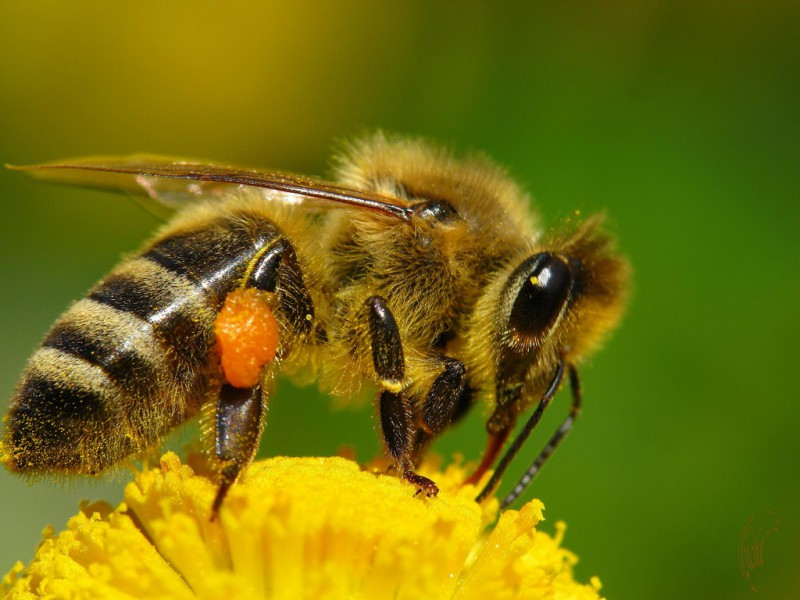 целебный мёд, северная пчела, бурзянская пчела