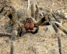 1-brazilian-wandering-spider