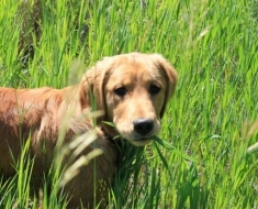 1-dog-eating-grass_25767335_SMALL