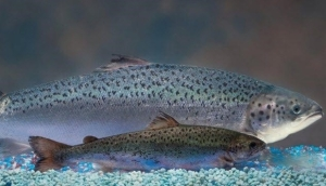 1-genetically-modified-Atlantic-salmon-behind-normal-one