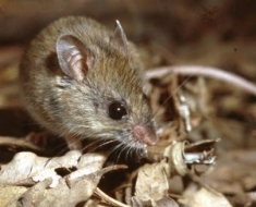 1-new-holland-mouse