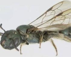 1a-carpenter-bee-ancestor