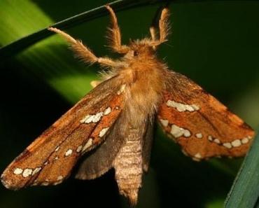 4-gold-swift-moth