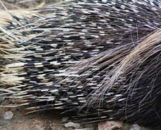 800px-South_African_Cape_Porcupine_Hystrix_africaeaustralis_porcupine_quills_close_up-e1398456258596