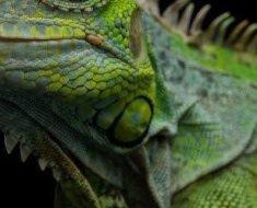 6a-green-iguana-824853286