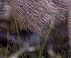 Beaver-e13752530582491