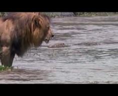 Топ-10 животных, способных убить льва