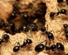8a-black-ants-147285771